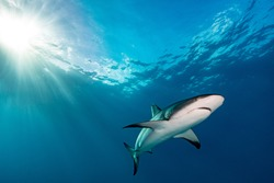 Shark in shallow blue and clear water