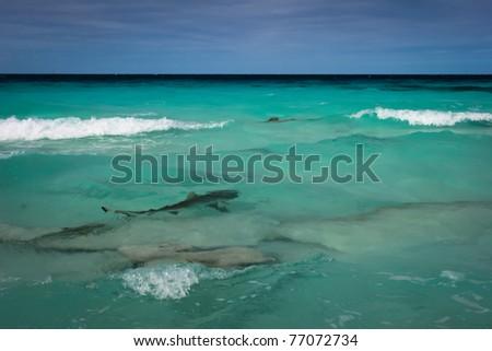 Shark in the lagoon, Fakarava, French Polynesia