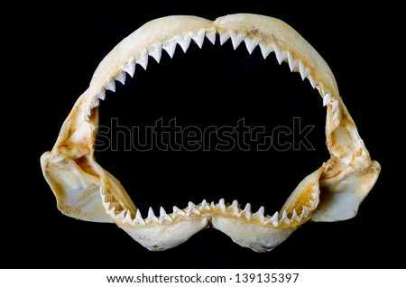 Shark Jaw Bone and sharp shark teeth isolated on black background