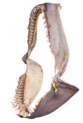 Shark Jaw Bone and sharp shark teeth isolated on white background