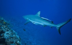 Shark patrolling the reef. Great barrier reef . Australia