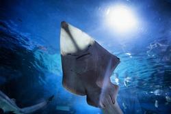 Shark Ray (Bowmouth Guitarfish) under belly in aquarium