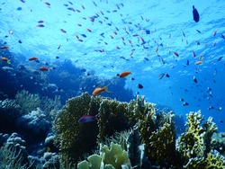 Shark Reef in Ras Muhammad National Park - Egypt : School of bright red anthias fish above coral reef in Red Sea