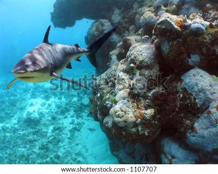 Shark swimming around coral wall
