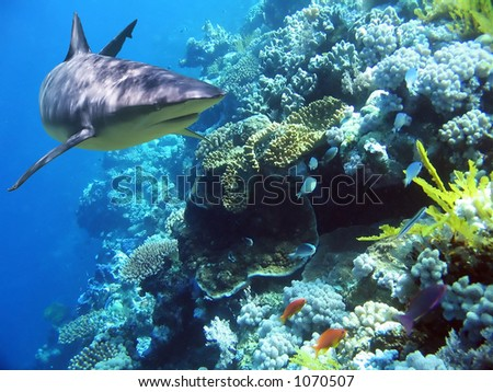 Shark swimming over reef with fish