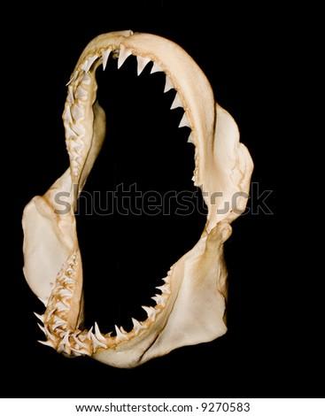 shark teeth jaw - stock photo