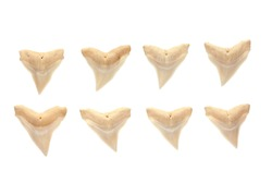 shark tooth Isolated on white.