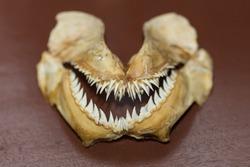 shark tooth on wood table