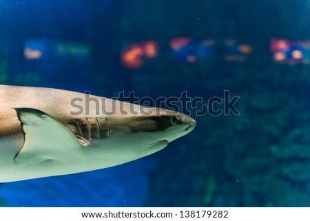 shark underwater close up portrait