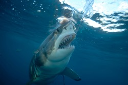 Shark underwater in blue ocean. Scary shark opens its mouth and swims at camera. Marine life under water in ocean. Observation animal world. Scuba diving adventure in Red sea, coast Africa