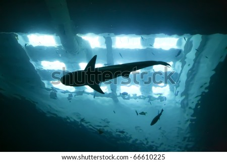 shark underwater seen from below silhouetted against bright lights