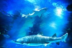 Sharks and small fish swimming in aquarium - deep blue shades