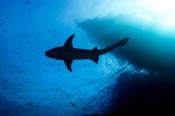 Sharks at the Maldives