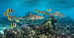 Sharks underwater in a colorful coral reef with tropical fish, Pacific ocean, French Polynesia, Oceania
