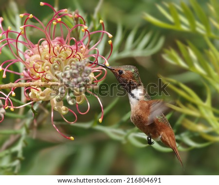 Sharp photo of a hummingbird (probably an Allen's) feeding on a grevillea flower.