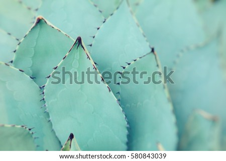 Sharp pointed agave plant leaves bunched together.  #580843039