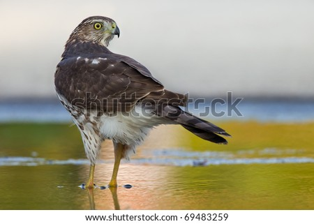sharp-shinned hawk in a green wet spot watching back