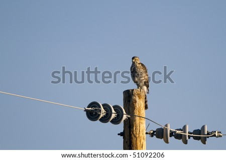 Sharp-shinned Hawk on an electrical post