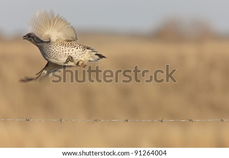 Sharp tailed Grouse in Flight