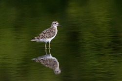 Sharp-tailed Sandpiper with reflections in still water