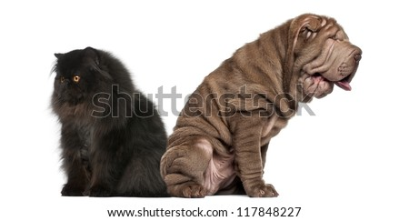 Sharpei and Persian sitting back to back against white background