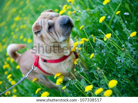 Sharpei dog resting in the grass with yellow flowers