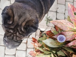 sharpei dog stands on a tile walkway near a bush with a flower