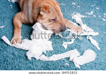 sharpei dog with toilette paper