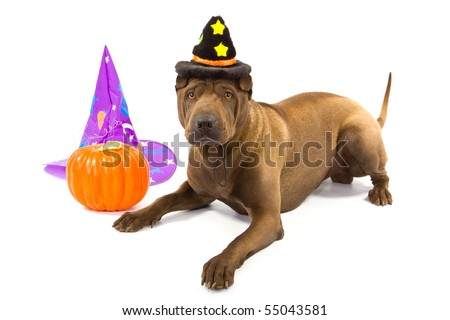 Sharpei with witch hats and pumpkin on white background