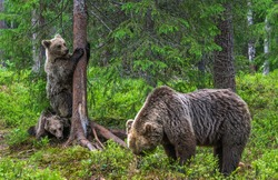 She-bear and bear cubs in the summer pine forest. Summer season, Natural Habitat. Brown bear, scientific name: Ursus arctos.