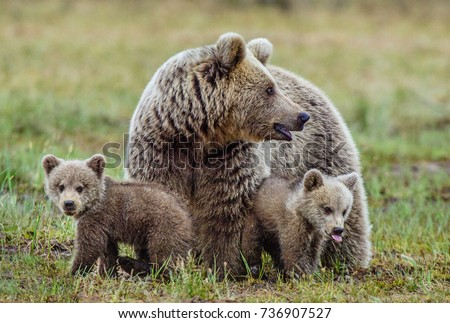 She-Bear and Cubs of Brown bear (Ursus Arctos Arctos) on the swamp in the summer forest. Natural green Background