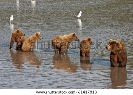 She-bear with four bear cubs. Wait fish. The river.