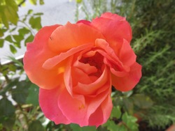 She is the queen of the undisputed garden, one of the most beautiful flowers she has ever seen on earth / Rose