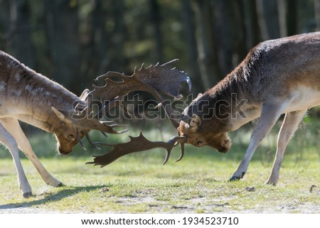She's mine! No she's mine! Let's fight for it! Who will win? A fight between two fallow deer during rutting season, photographed in the Netherlands. Imagine de stoc ©