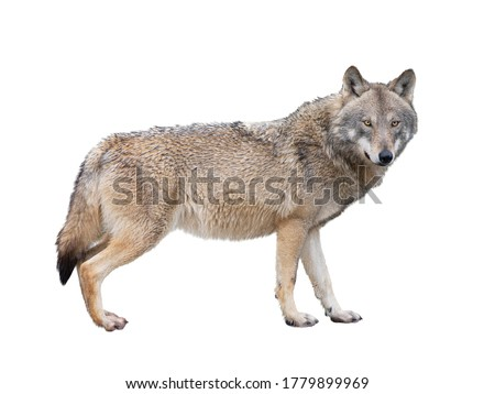 She-wolf isolated on white background. Сток-фото ©