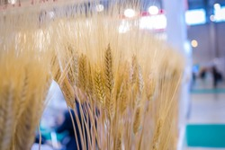 Sheaf of golden wheat ears at agricultural exhibition, trade show - close up view. Cultivation, organic, botanic, harvest concept