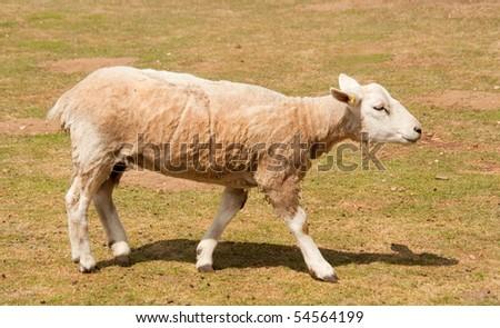 Sheared sheep in spring