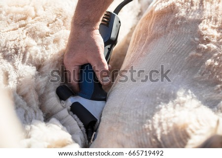 Shearing white alpaca. Alpaca body and wool concept #665719492
