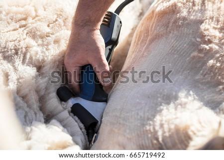 Shearing white alpaca. Alpaca body and wool concept #665719492