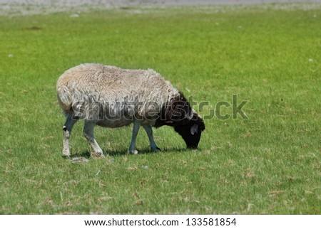 sheep #133581854
