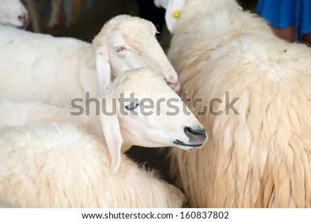 sheep #160837802