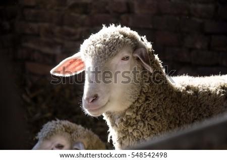 sheep #548542498