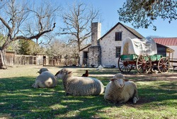 Sheep and a covered wagon at Lyndon B. Johnson State Park and Historic Site and the Sauer-Beckmann Farmstead, living history farm that presents rural Texas life as it was around 1918.