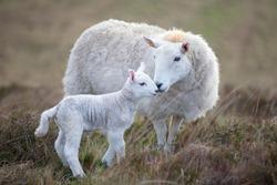 Sheep and a lamb on moorland
