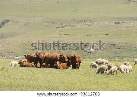sheep and cattle graze in the drakensberg foothills