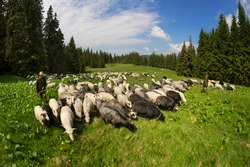 Sheep and dogs herd passes by the camp bivouac tent of the climbers tourists. Around there are wild coniferous spruce forests, shepherds graze cattle in the meadows - wastelands.