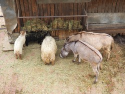 Sheep and donkeys eat hay from the trough at the zoo. Mammals, artiodactyls and equids eat lunch.