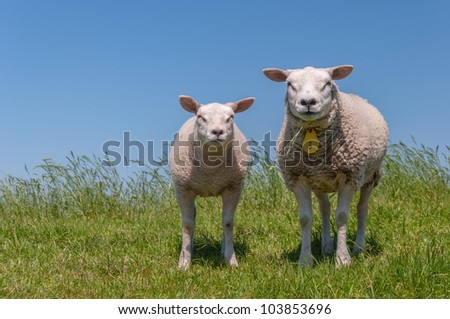 Sheep and her lamb posing on the top of a Dutch dike.