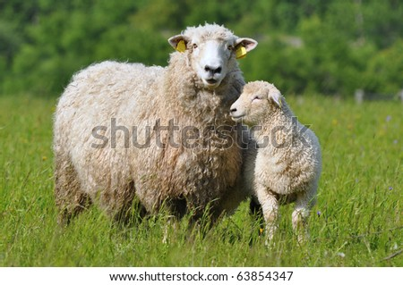 sheep and its lamb