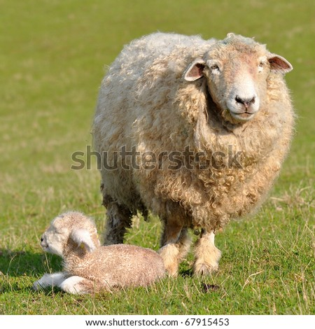 sheep and its  one day old lamb